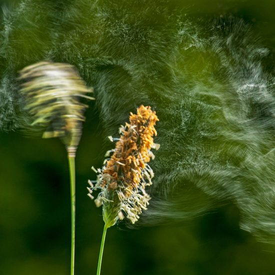 Pollenallergie Pollen